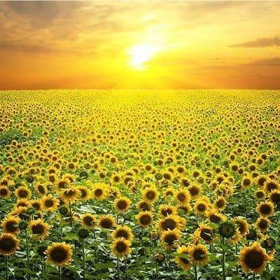 zon boven veld zonnebloemen
